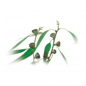 Medisana Aroma Essenz Eukalyptus